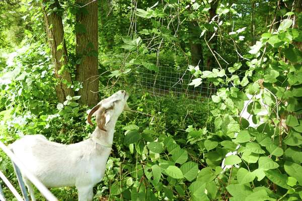 Five goats arrived in Irwin Park in New Canaan on Wednesday, July 10, 2019 and have been busy eating in the half-acre paddock in the 36 acre park.The plant has large leaves and red stems and propagates very easily.