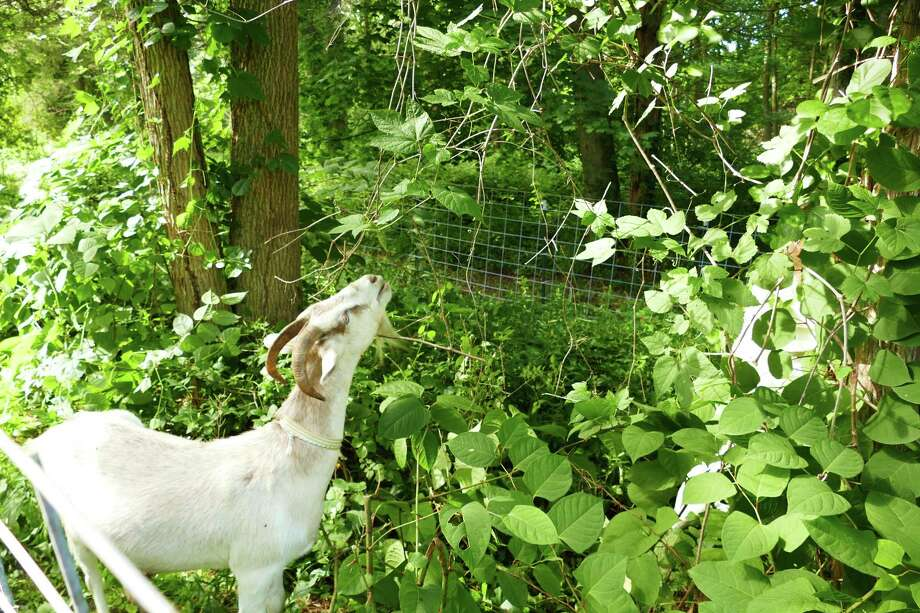 Five goats arrived in Irwin Park in New Canaan on Wednesday, July 10, and have been busy eating in the half-acre paddock in the 36 acre park.The plant has large leaves and red stems and propagates very easily. Photo: Grace Duffield / Hearst Connecticut Media / Connecticut Post
