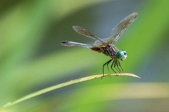 Blue dasher is a common dragonfly in the area. Look for them around ponds, lakes, and bayous with naturally occuring aquatic plants.