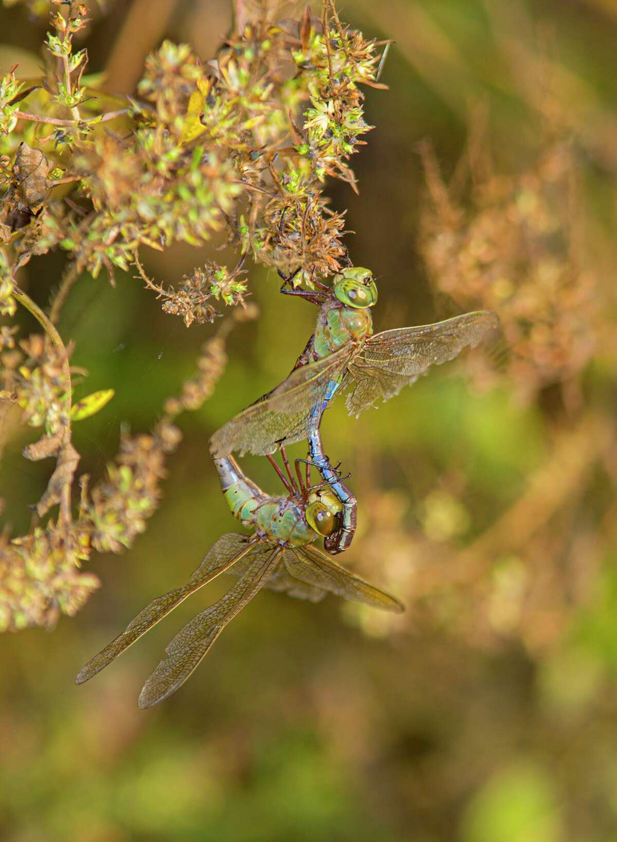 Dragonflies, like these common green darners, form a heart shape or wheel when they mate.