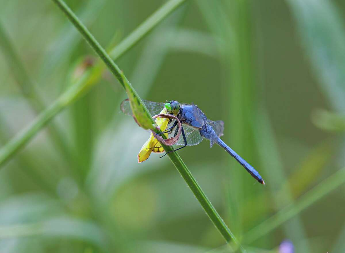 Dragonflies are predators feeding on mosquitoes and other flying insects. This eastern pondhawk is feeding on a sulphur butterfly. Photo Credit: Kathy Adams Clark Restricted use.