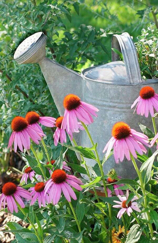 Examples of perennials that will reseed themselves and become a weed problem are sweet peas, ragworts, for-get-me-nots and coneflowers, pictured above. (Metro Graphics)