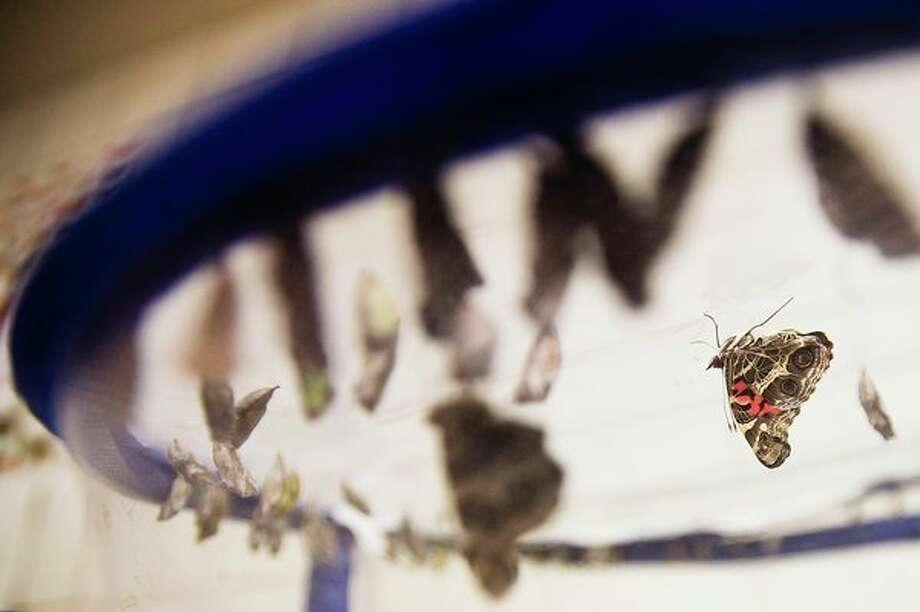 An American Lady butterfly hangs among other caterpillars turning into butterflies, still in their chrysalises, inside a netted basket in a building at Dow Gardens on Thursday. (Katy Kildee/kkildee@mdn.net)