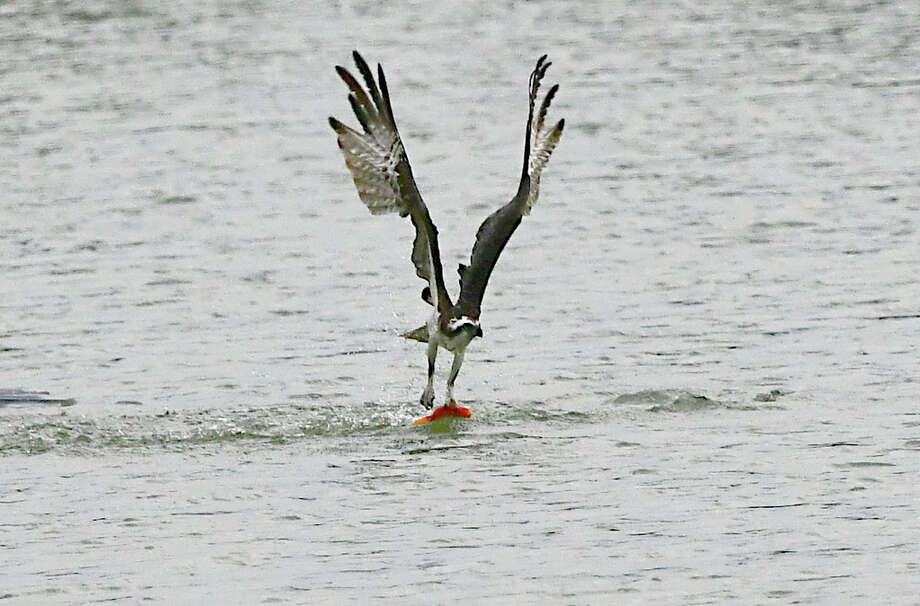 An Osprey snatches a koi fish from the pond at The Crossings of Colonie on Thursday, July 11, 2019 in Loudonville, N.Y.  (Lori Van Buren/Times Union) Photo: Lori Van Buren, Albany Times Union