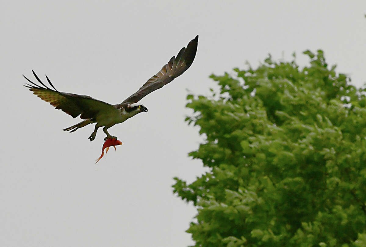 An Osprey snatches a koi fish from the pond at The Crossings of Colonie on Thursday, July 11, 2019 in Loudonville, N.Y. (Lori Van Buren/Times Union)