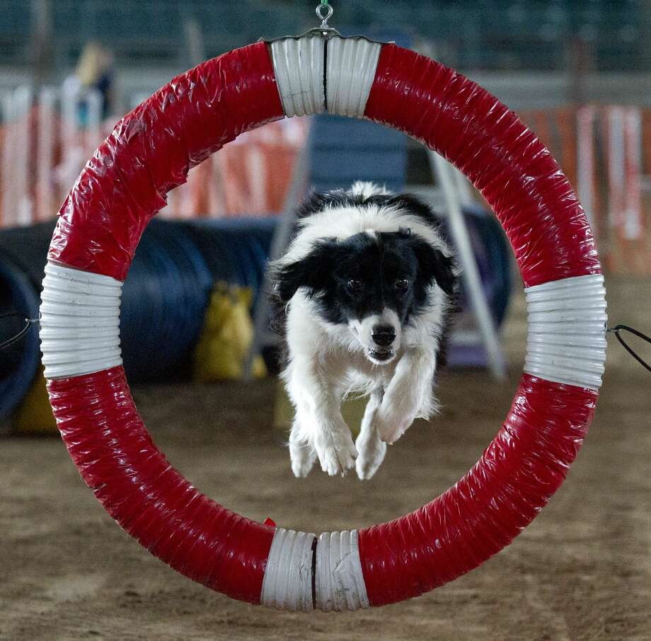 A Border Collie mix named Buddy leaps through a ring as he competes in the agility portion of the Texas 4-H Dog Show at the Montgomery County Fairgrounds, Friday, July 12, 2019, in Conroe. 4-H members from 34 counties gathered for the annual three-day contest. Photo: Jason Fochtman/Staff Photographer