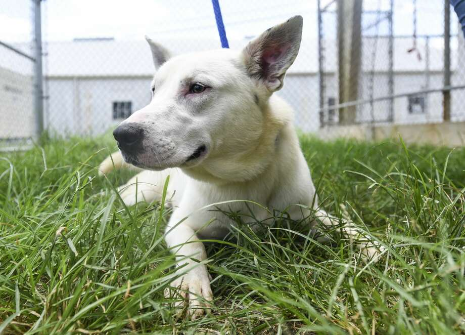 Reno, who is one-year-old, has been at the Beaumont Animal Shelter since 03/21/2019. Photo taken on Friday, 07/12/19. Ryan Welch/The Enterprise Photo: Ryan Welch/The Enterprise