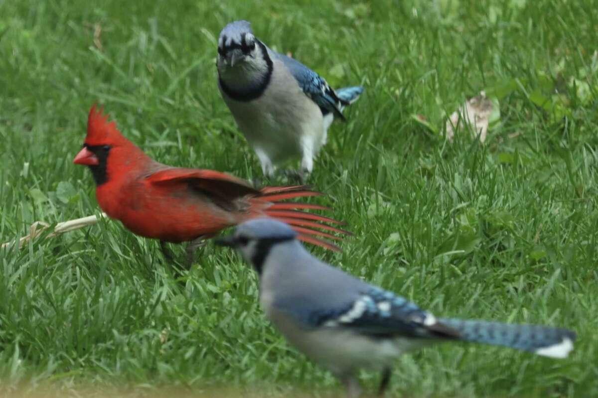 Red and blue mingle in Joe Pelcher's backyard in Averill Park.