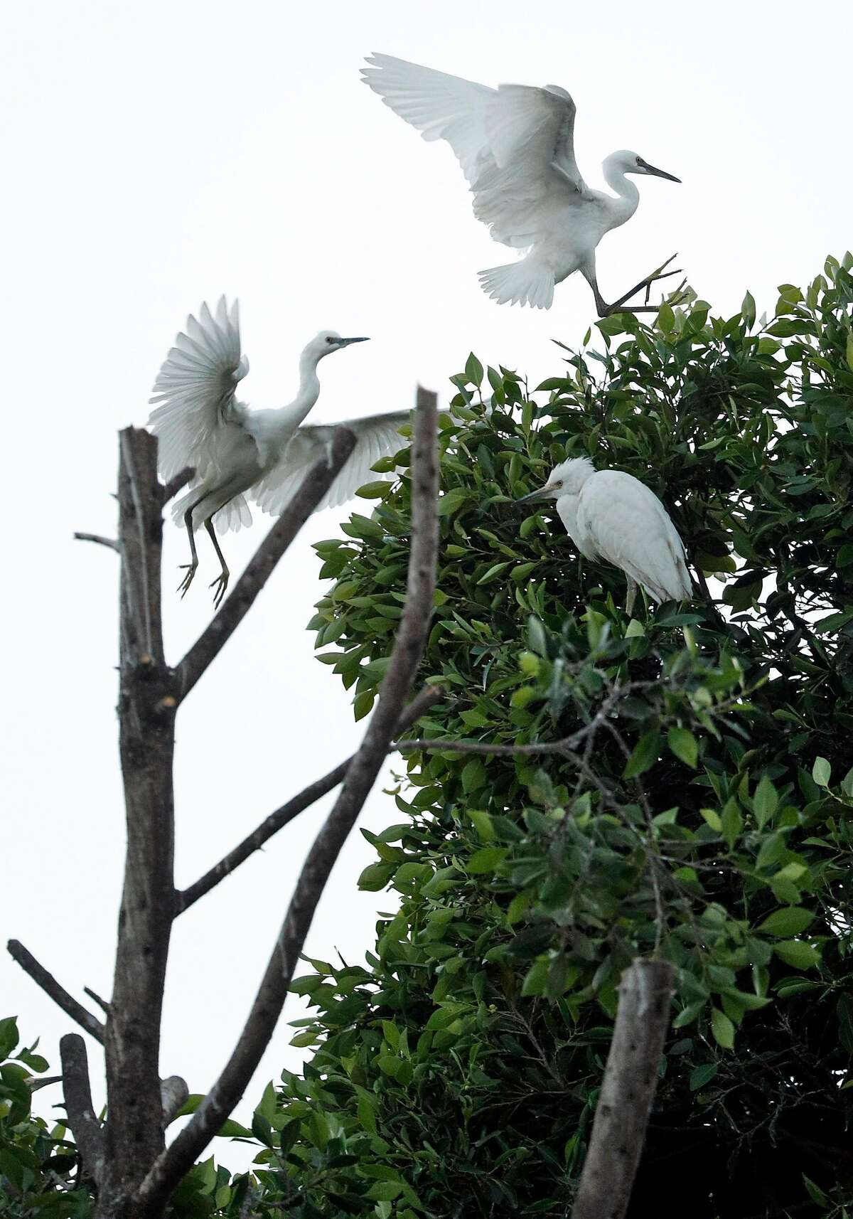 Several nesting birds position themselves on what remains of their nesting tree at the post office in Oakland Calif., on Thursday, July 11, 2019, the day after their nesting tree collapsed. A huge tree split and fell in front of the post office at 13th Street and Jackson Street that was full of nests of night herons and egrets. So far, they've rescued 40 birds/eggs. 20 died. And more keep hopping up higher into remaining tree.