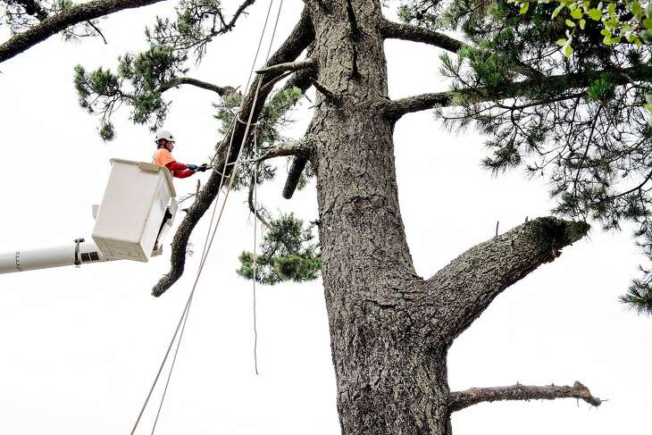 Jose Villeda with Mowbray's Tree Service, contracted by PG&E to handle vegetation management, ties off branches  while trimming branches from a tree that will be removed along Skyline Blvd. in Oakland, CA on June 26th, 2019.