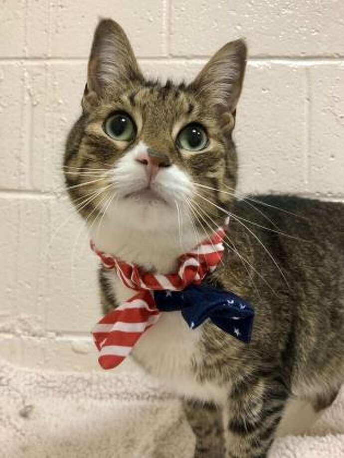 This is 9-year-old Lance, and he has always been an indoor kitty, so he must remain an indoor kitty for his safety. Still playful and curious, Lance would like to live in an active home with kids over the age of 10. Lance may want to live with another cat but he has never lived with dogs; a cat-friendly dog may suit Lance just fine. Can Lance find lots of attention and playtime in your household? Visit Westport and have some Lance time. Remember, the Connecticut Humane Society has no time limits for adoption. Inquiries for adoption should be made at the Connecticut Humane Society located at 701 Russell Road in Newington or call toll free: 1-800-452-0114. Photo: Contributed Photo
