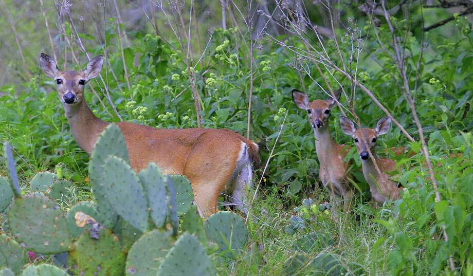 Whitetail does with twin fawns have been common in Texas this year as deer across the state benefited from outstanding habitat conditions fueled by timely and abundant rain that began this past autumn and continued into summer. Photo: Shannon Tompkins / Houston Chronicle