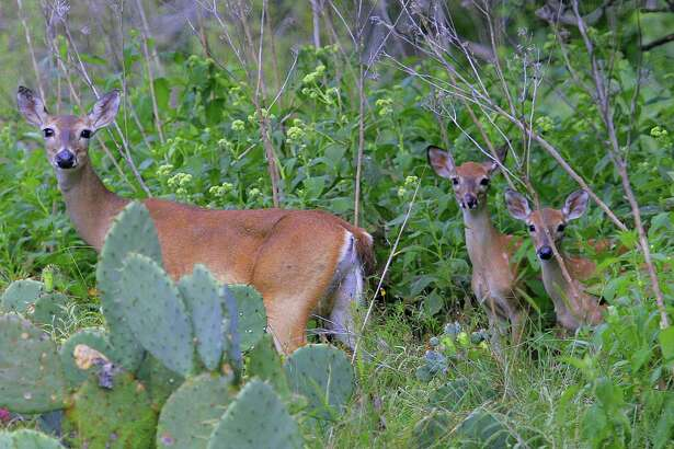 Whitetail does with twin fawns have been common in Texas this year as deer across the state benefited from outstanding habitat conditions fueled by timely and abundant rain that began this past autumn and continued into summer.