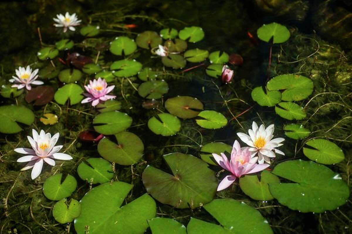 Susan Hoshaw's garden features a small pond with water lilies. (File photo/Midland Daily News)