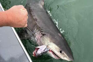The shark latched onto the fish carcass being used as bait. It was immediately released.