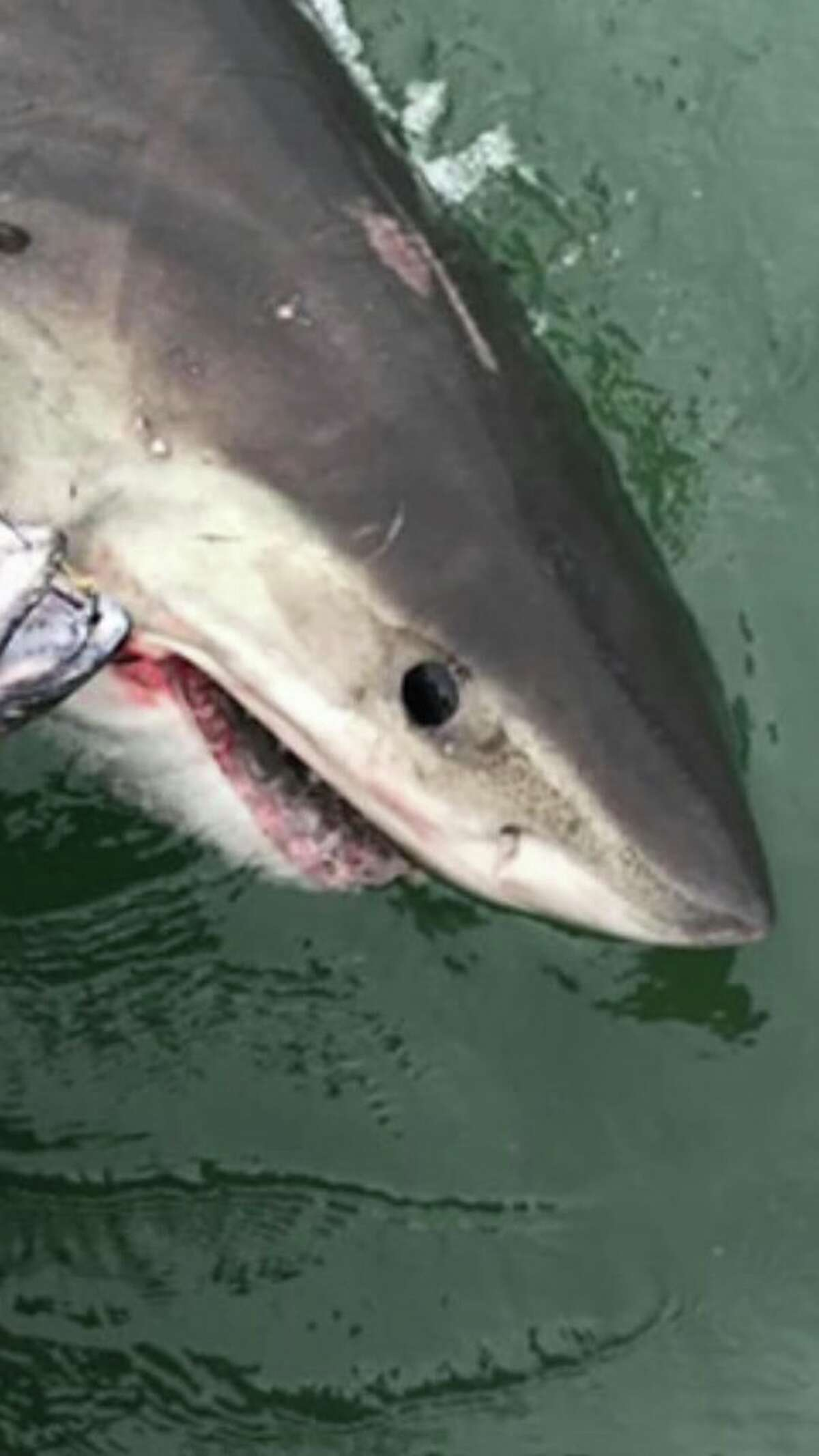 Gamez estimates the shark was somewhere between eight-and-a-half and ten feet long.