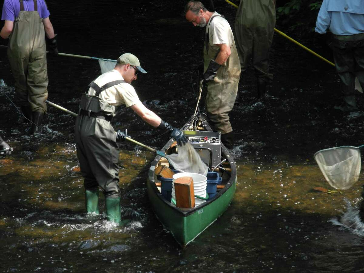 Fish are dropped into a bucket on the Norwalk River in Wilton on July 12.