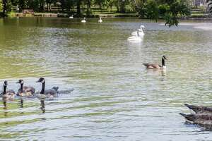 The geese have returned at Tilley Pond. They are no longer deterred by the fake swans that have been placed there.