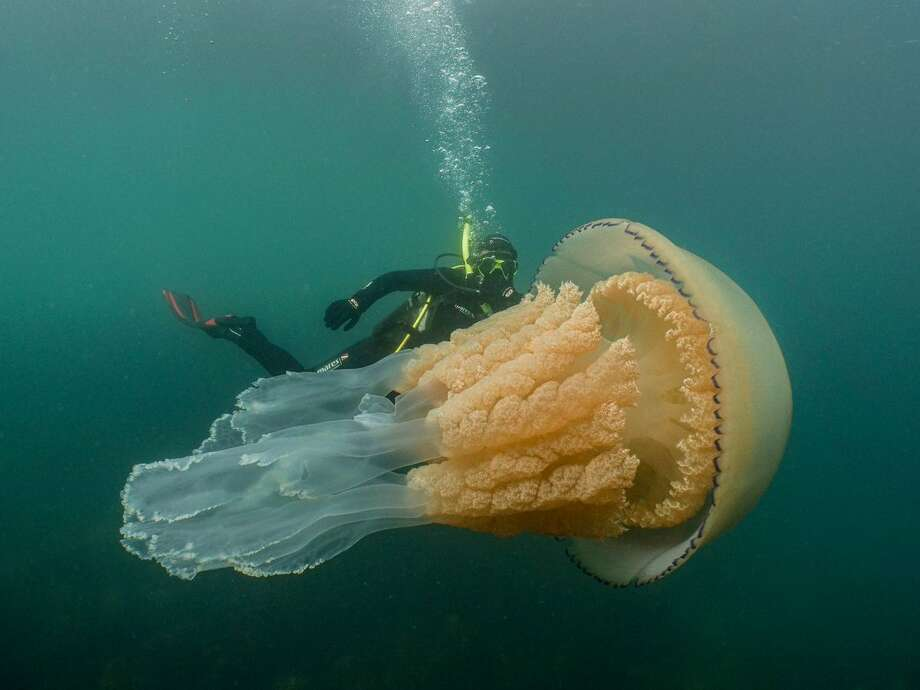Under the waves in the English Channel over the weekend, the biologist Lizzie Daly came face-to-face with an enormous underwater denizen: a 5-foot-long barrel jellyfish. Photo: Dan Abbott, Underwater Cinematographer With Wild Ocean Week