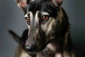 Luna is a 9-month-old, male, German Shepherd mix available for adoption at the BARC Animal Shelter, in Houston. (Animal ID: A1637964) Photographed  Tuesday, July 16, 2019.  Luna is a sweet boy, who likes treats, and loves to play.