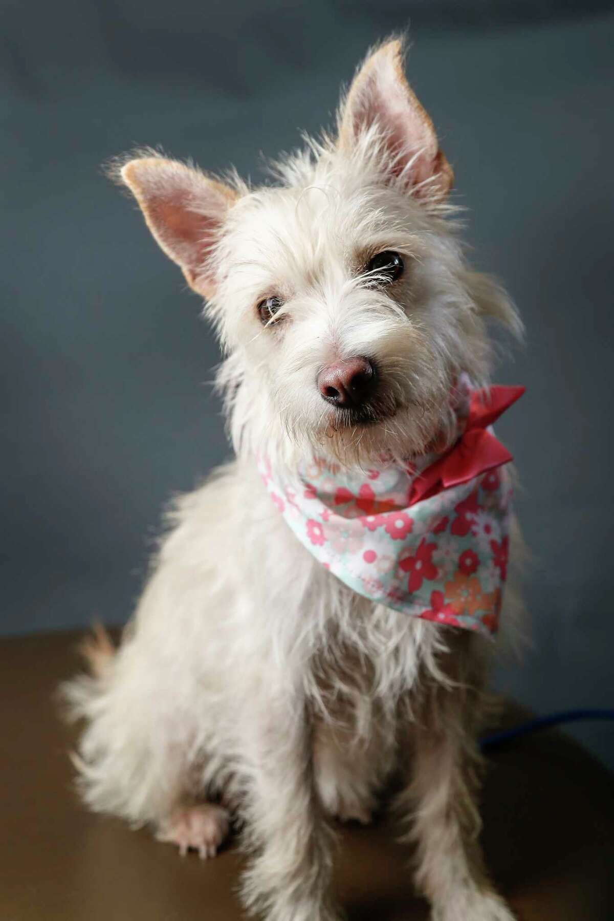 Widget is a 2-year-old, female, Cairn Terrier mix available for adoption at the BARC Animal Shelter, in Houston. (Animal ID: A1640097) Photographed Tuesday, July 16, 2019. Widget is a happy-go lucky dog, who likes treats and pets.