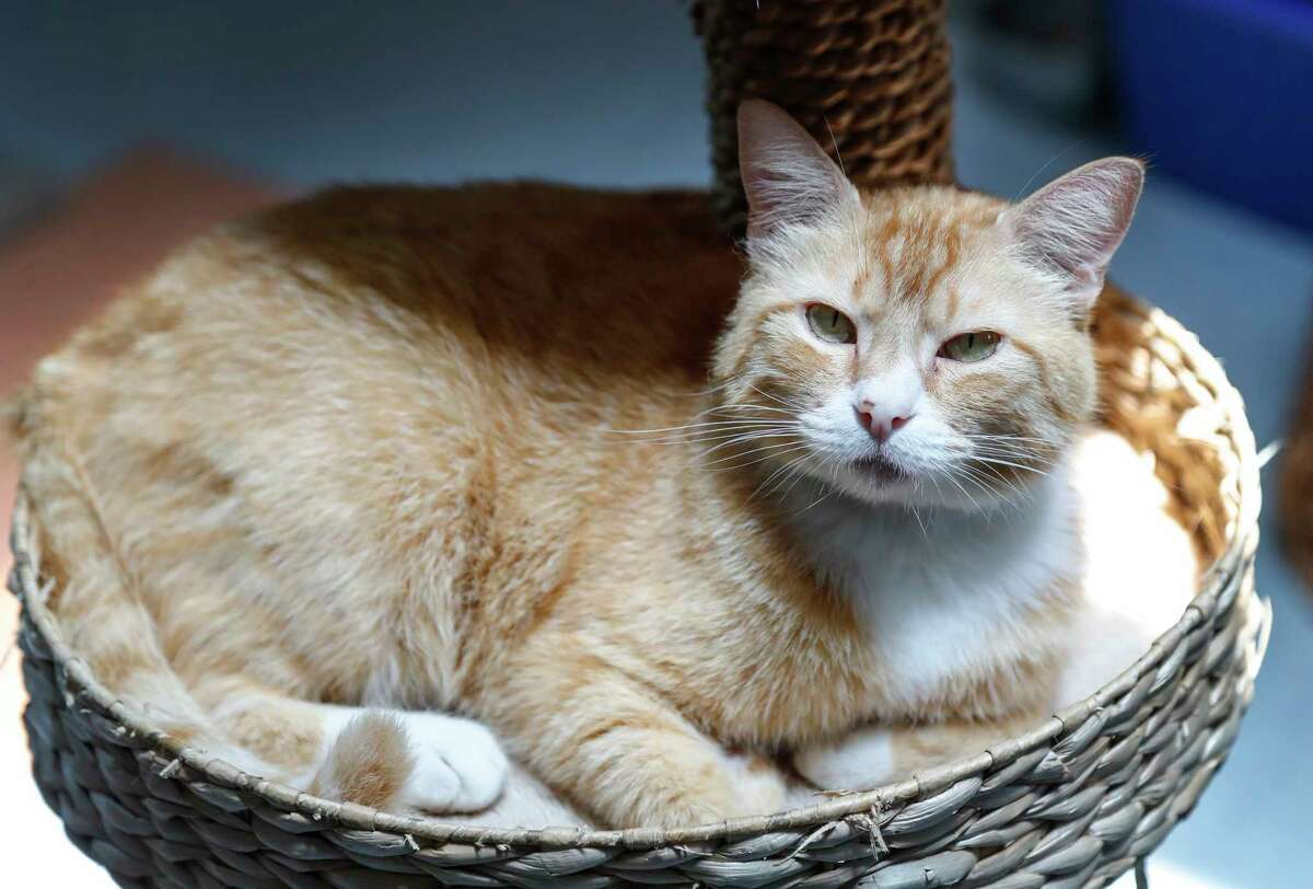 Sally is a 6-year-old, female, red/white Tabby mix available for adoption at the BARC Animal Shelter, in Houston. (Animal ID: A1257362) Photographed Tuesday, July 16, 2019. Sally is an older cat, who does not like children.