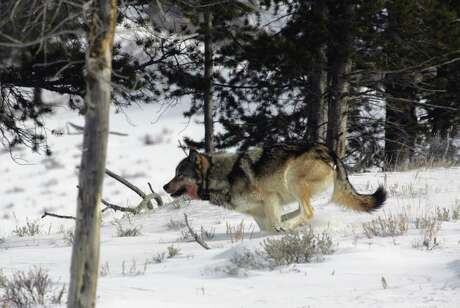 A gray wolf is seen on the run in Yellowstone National Park. Some lawmakers are proposing to rewrite laws that protect the wolf in much of the continental U.S. Critics say such a move would effectively gut one of the nation's premiere environmental laws.