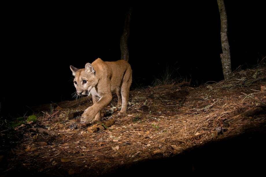 North American Cougar (Puma concolor couguar) sub-adult female walking at night, Aptos, Monterey Bay, California Photo: Sebastian Kennerknecht