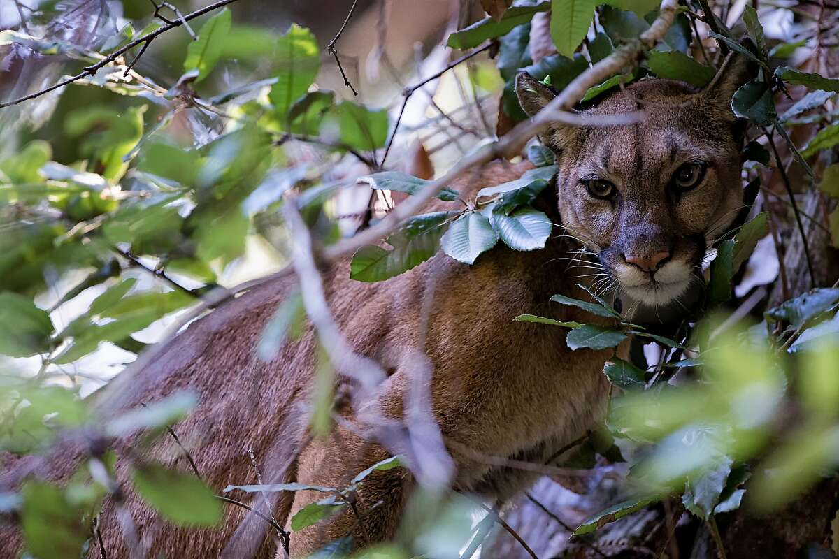 This mountain lion was caught on camera during the UC Santa Cruz study showing the level of fear predators display when humans are around.