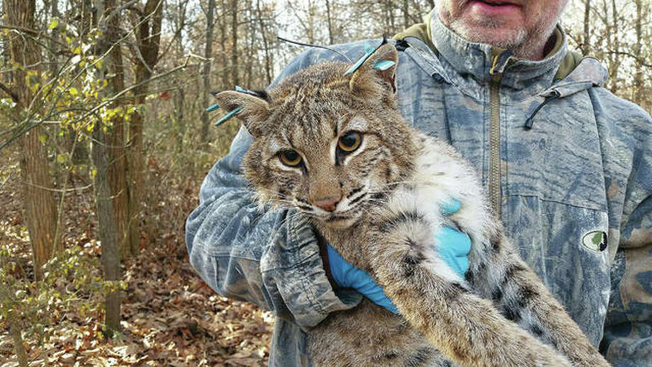 A two-year grant will allow Western Illinois University to continue field research that has been conducted for several years into the bobcat population in west-central and north-central Illinois. Photo: Photo Provided
