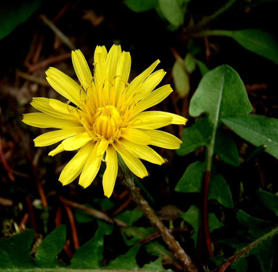 A yellow dandelion, a common summer bloom. (Photos by Peter Bowden)