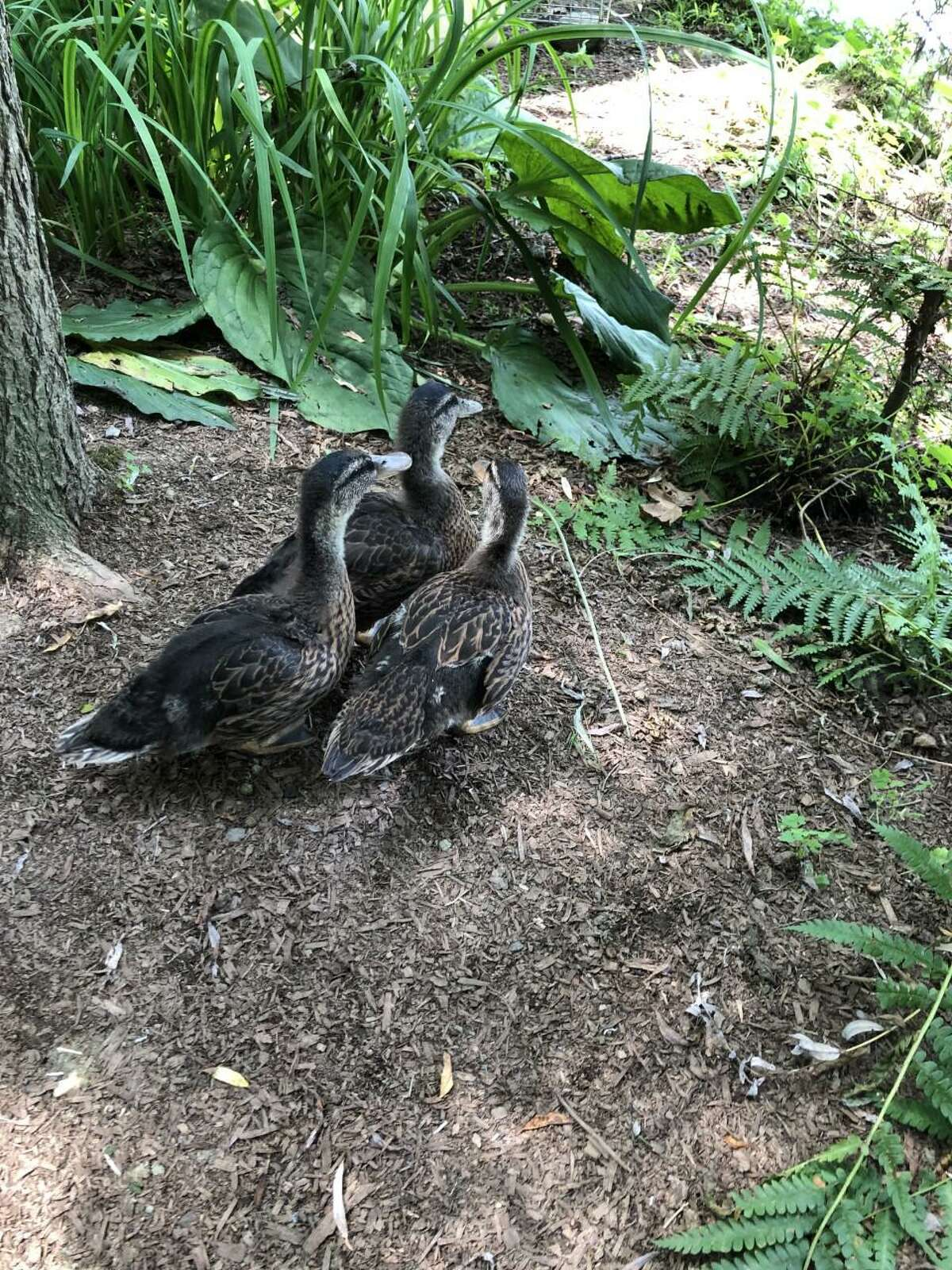 The way these ducks interacted with people convinced New Canaan Animal Control that they had been raised by someone then dumped in the wild.