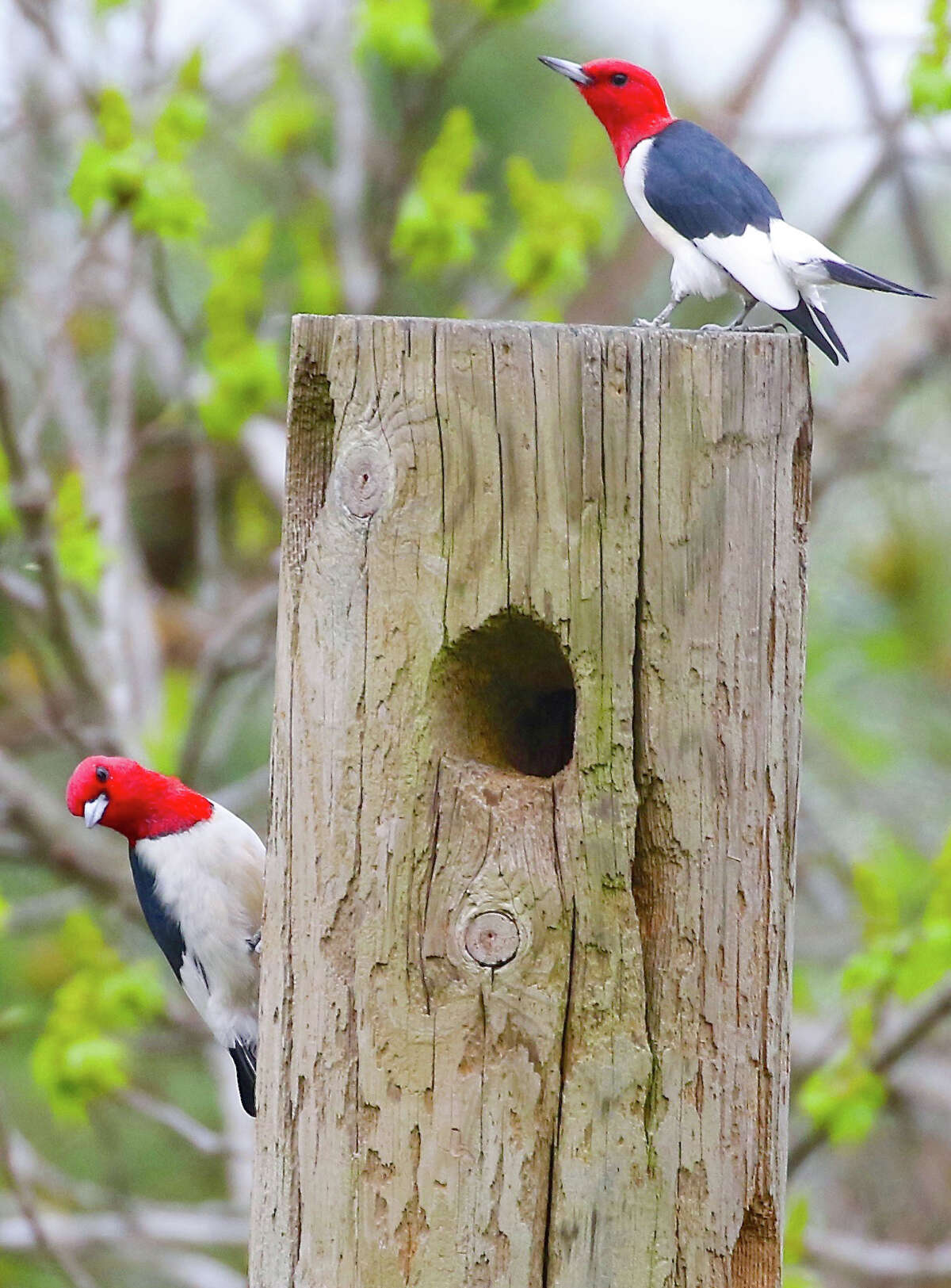 Woodpeckers Sharing a Tree Source: Farmers' Almanac