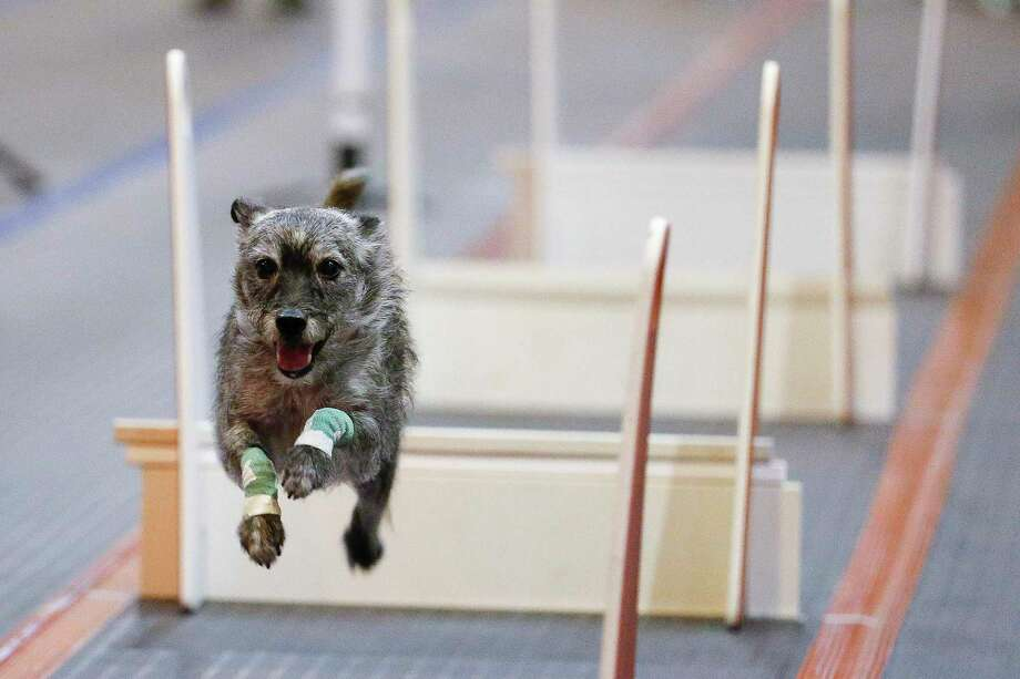 A dog is timed while jumping over barriers during a Flyball Racing competition at the Houston World Series of Dog Shows at NRG Center Saturday July 21, 2018 in Houston. (Michael Ciaglo / Houston Chronicle) Photo: Michael Ciaglo / Michael Ciaglo/Houston Chronicle / Michael Ciaglo