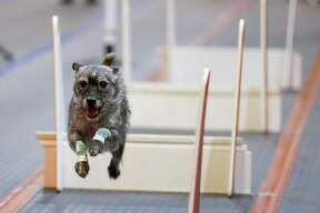 A dog is timed while jumping over barriers during a Flyball Racing competition at the Houston World Series of Dog Shows at NRG Center Saturday July 21, 2018 in Houston. (Michael Ciaglo / Houston Chronicle)