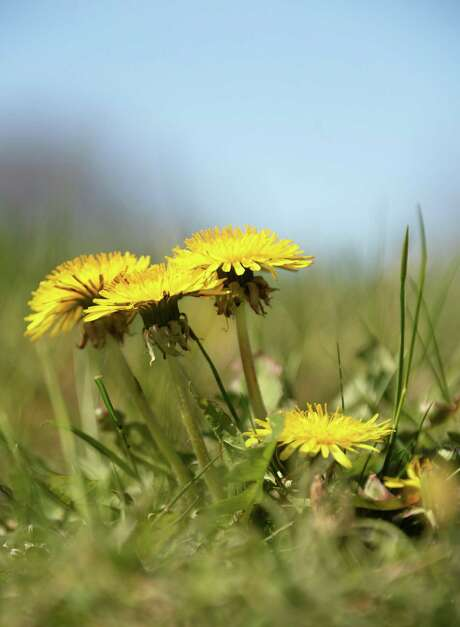 Although non-native and generally considered a weed, the dandelion has naturalized in all 50 states; it's thought to have been brought over by the Pilgrims, who planted the herb as a medicinal crop.