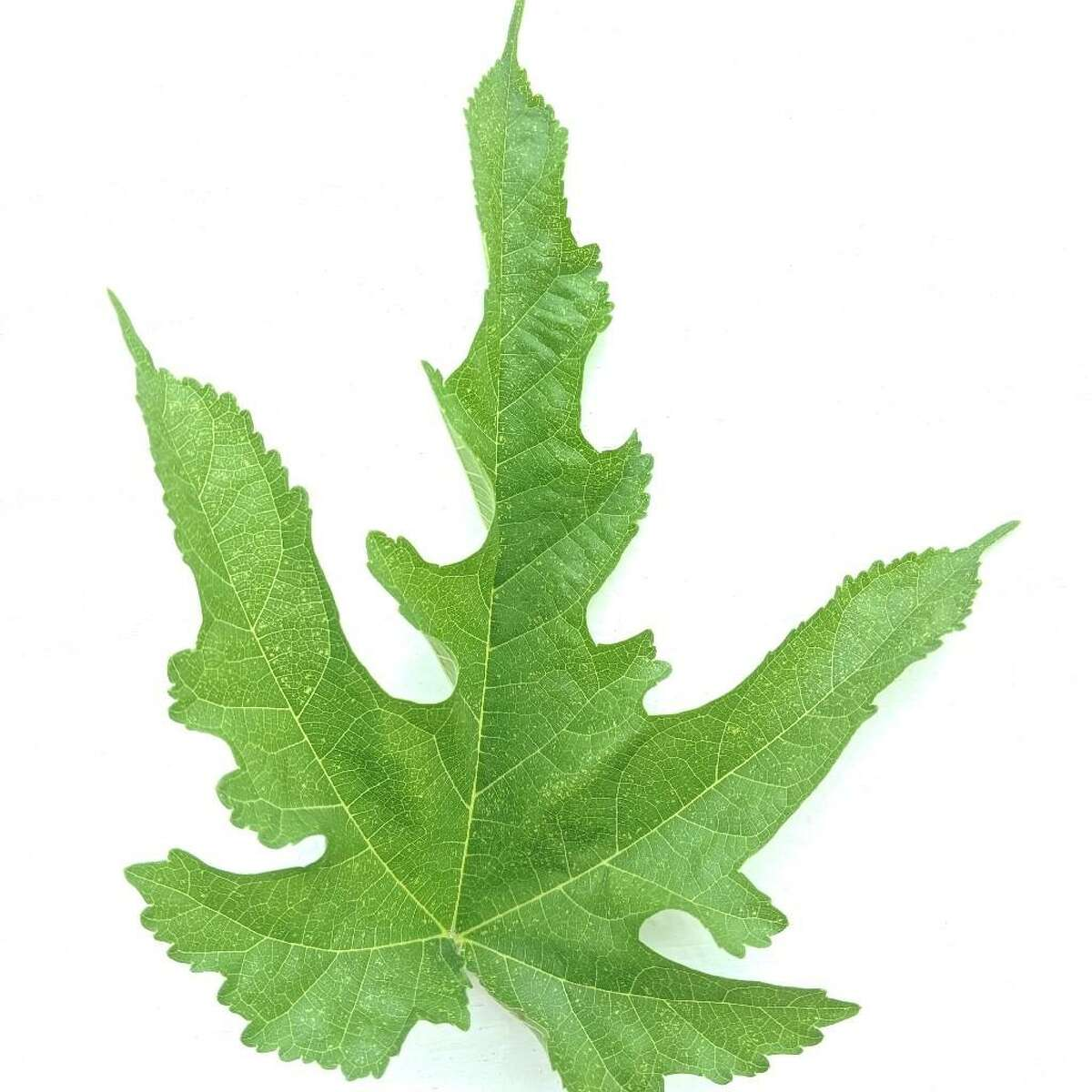 A photo of the leaf that Houston Chronicle writer Maggie Gordon submitted to a slew of gardening apps to determine which plant was growing in her garden. While the apps couldn't definitively determine its identity, it was later revealed to be a White Mulberry.