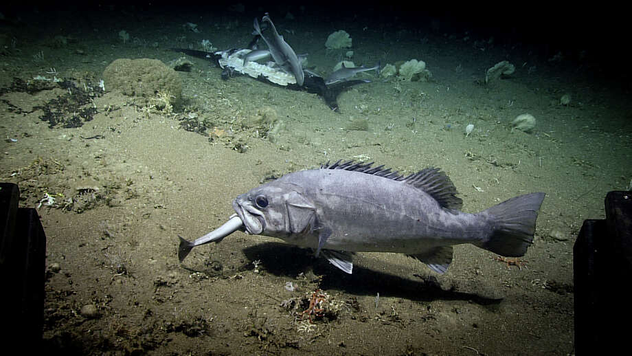 PHOTOS: Researchers onboard the National Oceanic and Atmospheric Administration (NOAA) Okeanos Explorer ship captured rare footage of a deep-sea fish eating an entire shark. >>> See the wreckfish eating the shark as well as the shark feeding frenzy ... Photo: NOAA Office Of Ocean Exploration And Research / Image courtesy of the NOAA Office of Ocean Exploration and Research, Windows to the Deep 2019.