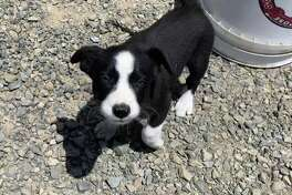 This is one of two border collies that were taken from a goatherd in Point Pinole Regional Park on July 8. East Bay Regional Park District police are asking for the public's help in recovering the pups.