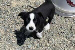 This is one of two border collies that were taken from a goatherd inPoint Pinole Regional Park on July 8.East Bay Regional Park District police are asking for the public's help in recovering the pups.
