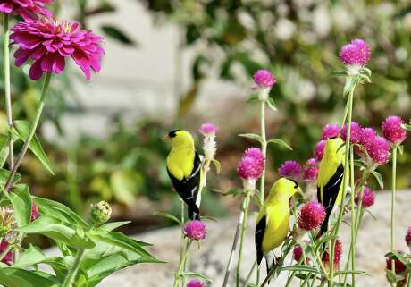 American Goldfinches are currently creating a spectacle in Columbus GA feeding on QIS Carmine gomphrena seeds. (Norman Winter/TNS)