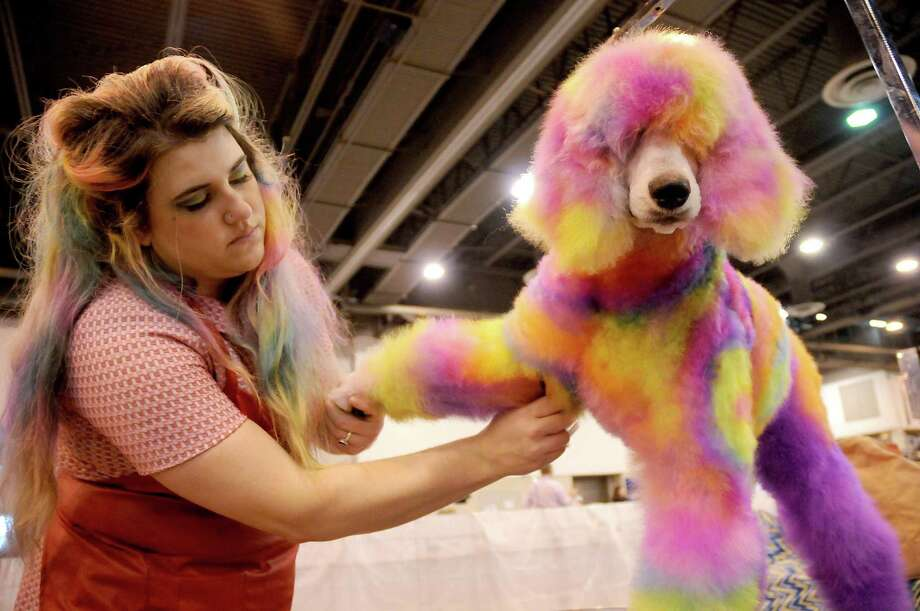 Brooke Stephenson of Austin prepares Soleil for competition in the creative grooming category at the Houston World Series of Dog Shows at the NRG Center. Photo: Dave Rossman, Freelance / For The Chronicle / Dave Rossman