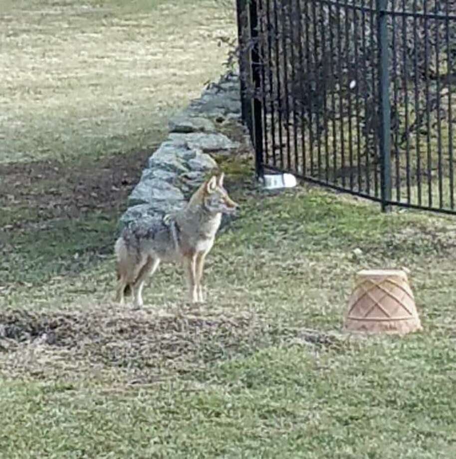 A coyote stands in the yard of a property on Locust Road off King Street in northwest Greenwich. Photo: File /