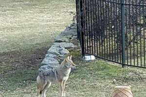 A coyote stands in the yard of a property on Locust Road off King Street in northwest Greenwich.