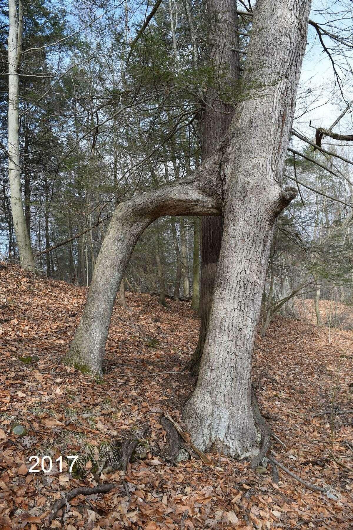 """The """"Door Tree"""" in Hamden's Mount Carmel woods"""