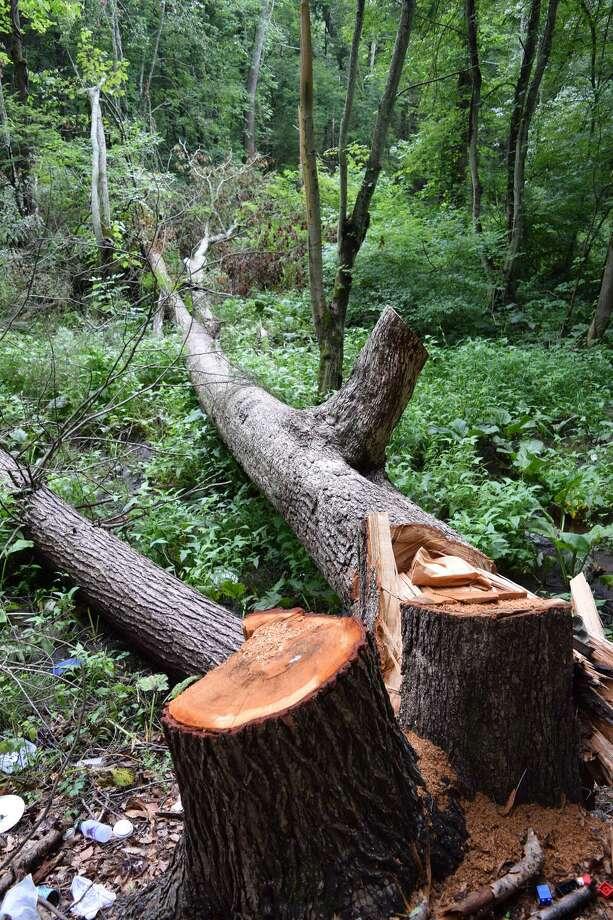 "The ""Door Tree"" in Hamden's Mount Carmel woods after being cut apart. Photo: Contributed Photo"