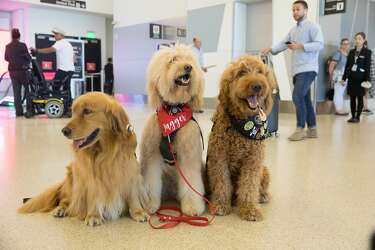 Flight delayed at SFO? The Wag Brigade is on the way  - SFGate