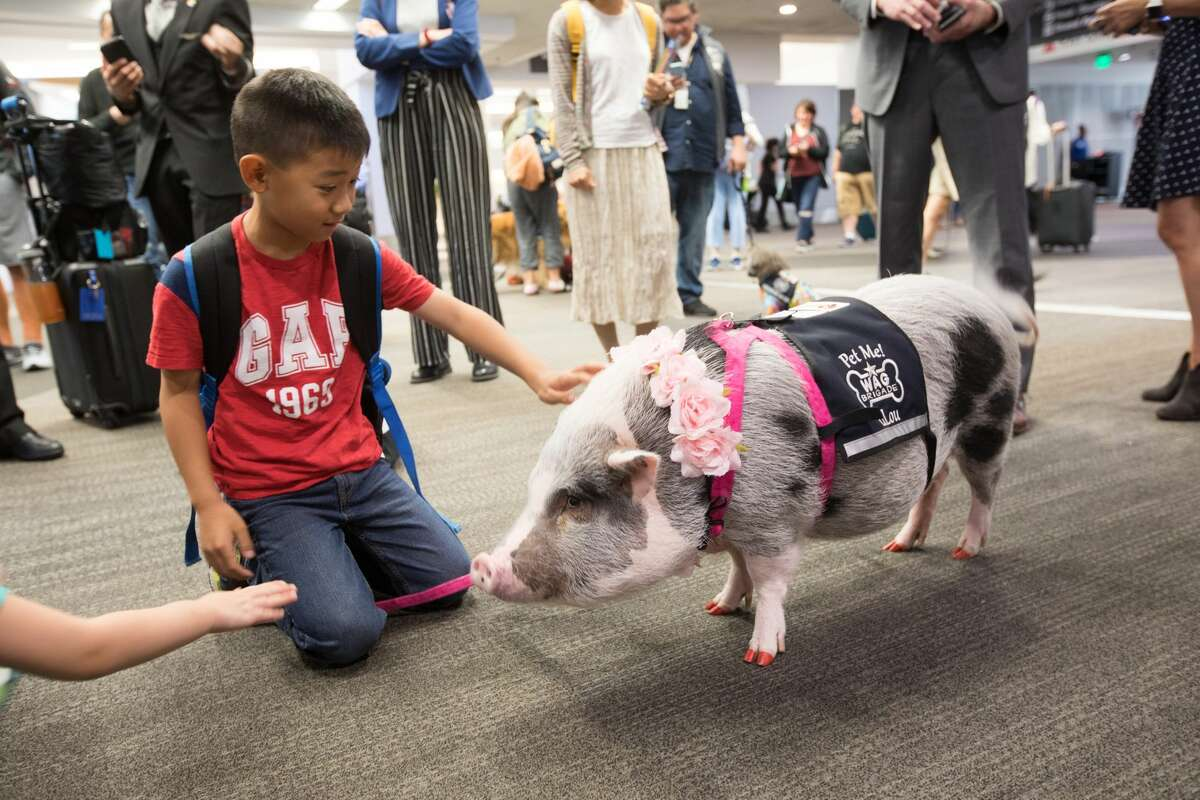 Yian Lang of Las Vegas pets LiLou the pig, part of the Wag Brigade, at SFO airport on July 17, 2019.