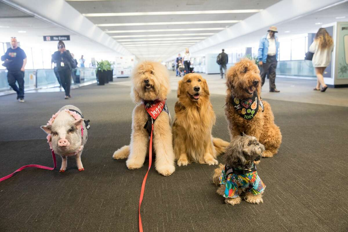 (Left to right) LiLou, Jagger, Brixton, Toby and Benga! are part of the Wag Brigade at SFO airport.