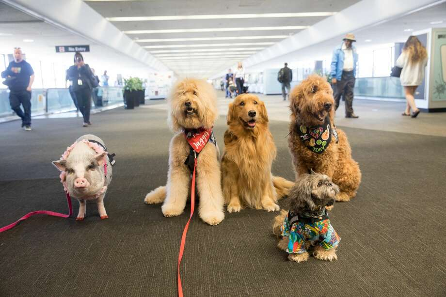 (Left to right) LiLou, Jagger, Brixton, Toby and Benga! are part of the Wag Brigade at SFO airport. Photo: Douglas Zimmerman/SFGate
